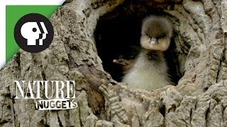 Ducklings Leave the Nest | NATURE Nuggets