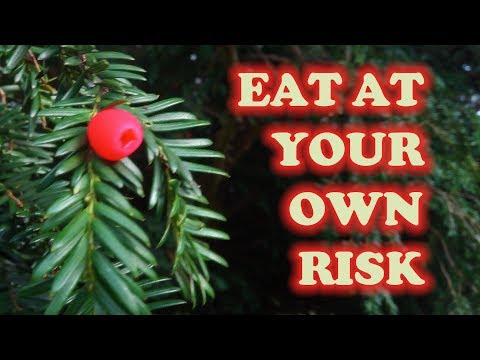 Eating The Fruit Of Britain's Most Deadly Poisonous Tree