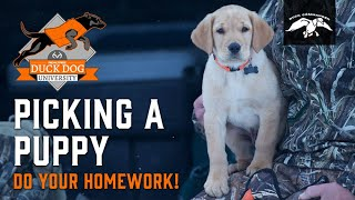 How to Pick a Retriever Puppy | Duck Dog University  Episode 1