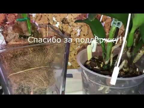 Орхидея каттлея и её пересадка январь 2019. 2.1
