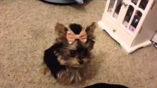 Misa Minnie smartest Yorkie puppy 20 wks old