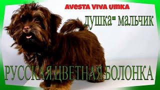 (1) Русская цветная болонка  ☘️ Авеста Вива Умка 🐶