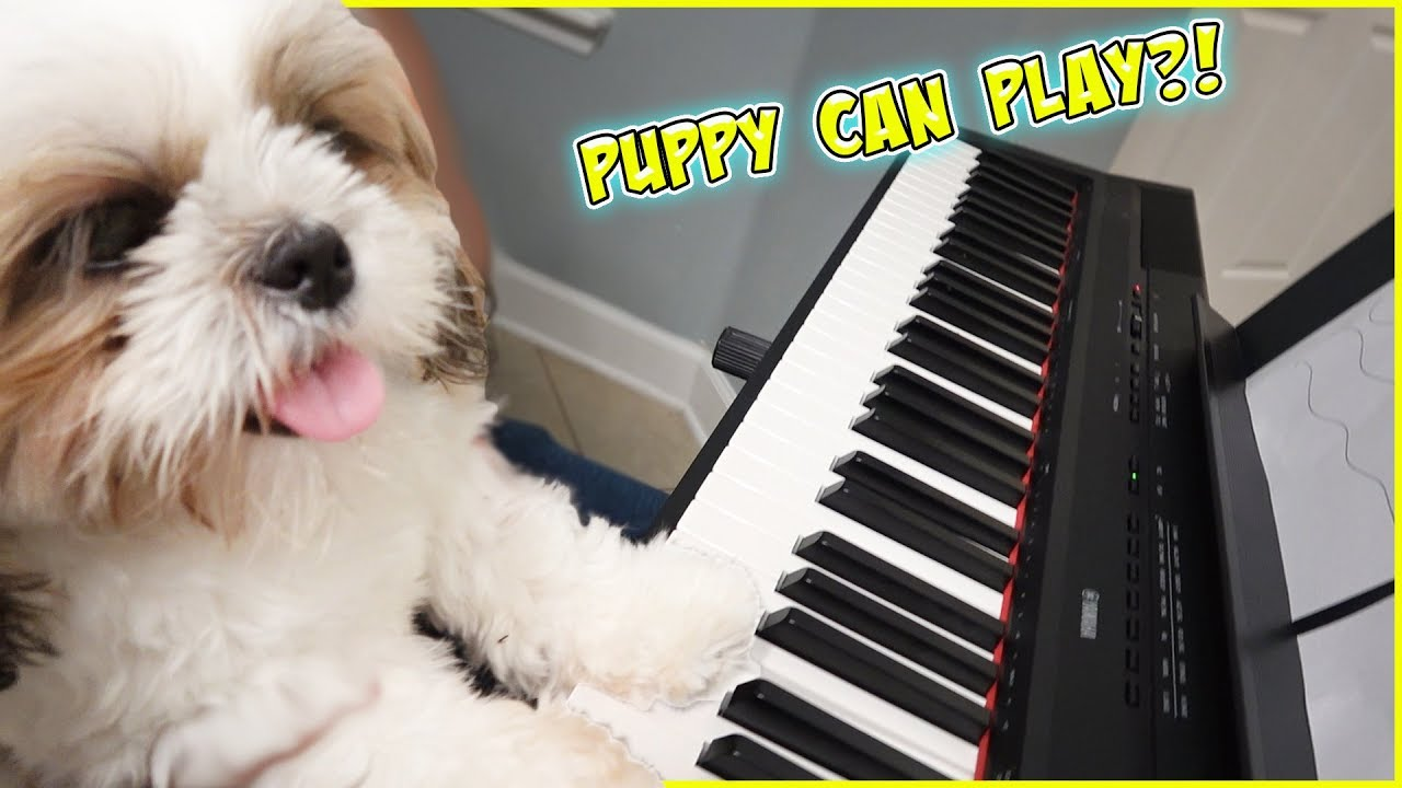 miracle-puppy-plays-piano