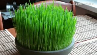 Soil free wheat grass grown at home🌾🌾 | Baat Pate ki | health ki baatte, health ki baaten, 2018