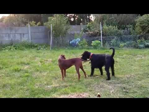 Standard schnauzer, Jazz, playing with his friend, Hera (Long version)