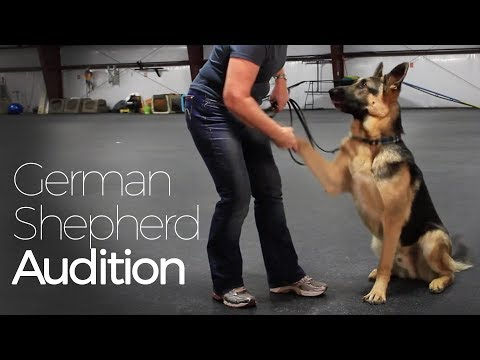 Excellent Audition by Gorgeous German Shepherd Dog Ike the Actor for Talent Hounds