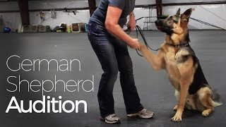 Excellent Audition By Gorgeous German Shepherd Dog Ike, The Actor, For Talent Hounds