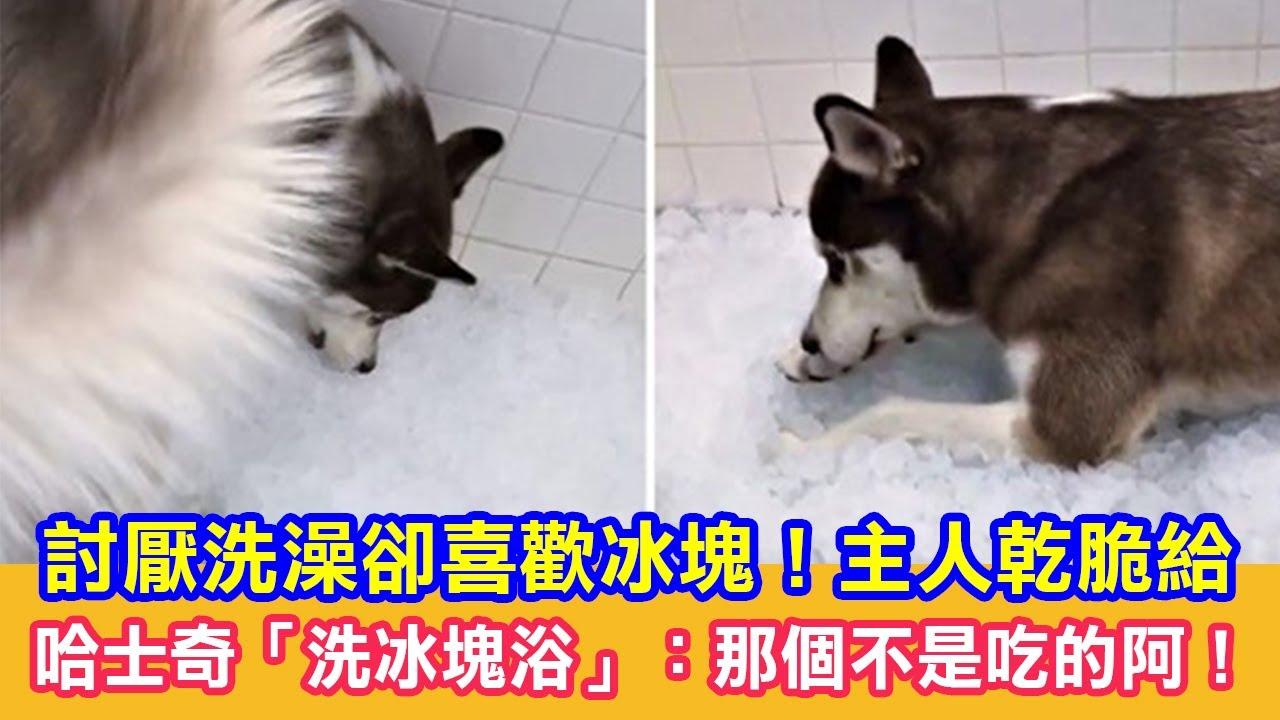 討厭洗澡卻喜歡冰塊!主人乾脆給哈士奇「洗冰塊浴」:那個不是吃的阿! 狗狗搞笑