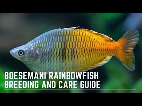 How To Successfully Keep And Breed Boesemani Rainbowfish - Melanotaenia Boesemani Care Guide