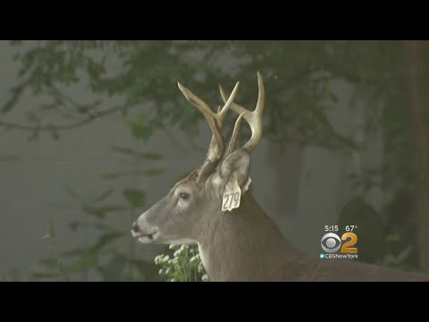 Exploding Deer Population Creating Dangerous Driving Conditions On Staten Island