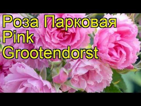 Роза парковая Пинк Грутендорст. Краткий обзор, описание характеристик Pink Grootendorst