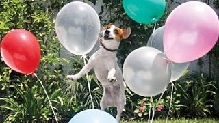 Dog vs. ballons play together colections