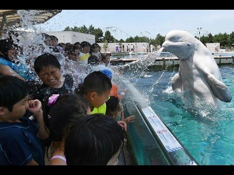 Beluga Whales Show At Chicago Aquarium