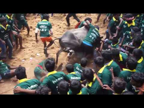 Tamilnadu jallikattu dindigul district best video 2017