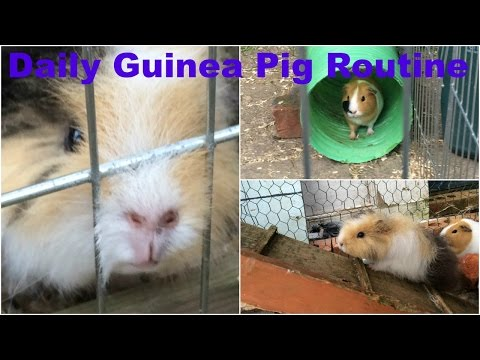 Guinea Pig Daily Routine | Summer 2016 | Furry Friends