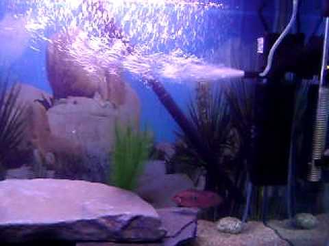 My Red Jewel Fish Tank