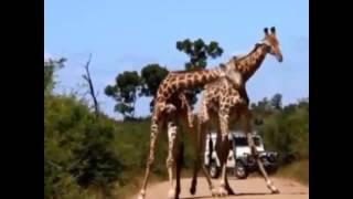 Video Giraffe mating call download MP3, 3GP, MP4, WEBM, AVI, FLV Desember 2017