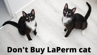 Do You Want a LaPerm cat ? Check This!! 9 facts to know before buying Laperm cat   LaPerm cat facts