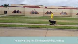 Tulsa Obedience - 2 Dogs - German Shepherd / Rottweiler And A Black Lab
