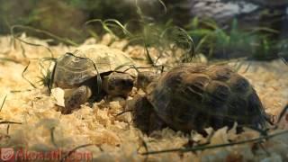 Среднеазиатская (степная) сухопутная черепаха. Черепахи. Террариумистика.