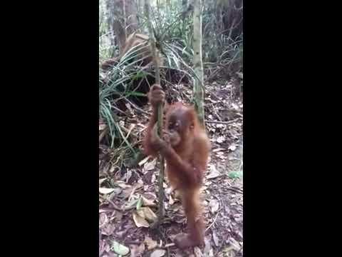 Alek and guest watching the orangutan sumatra jungle life