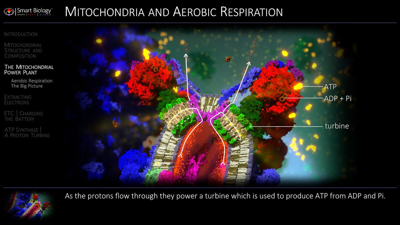 Mitochondria And Aerobic Respiration Animation
