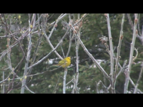Bird Watching At The Park : Red Winged Black Birds / Dove /  Yellow Warbler