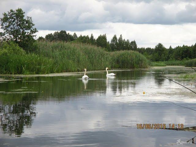 Лебеди в начале озера