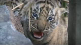 Tiger cubs in den. Tigers need your help to survive.