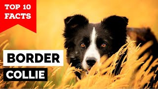 Border Collie  Top 10 Facts