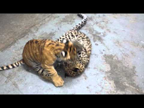Tiliger & Amur Leopard Playing
