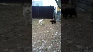 Кот хочет трахнуть собаку)