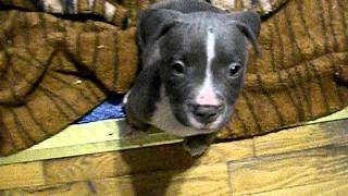 """rihanna""  ~ (sold) / All Pups Come Paper Trained / Blue Nose Pitbull Puppies"