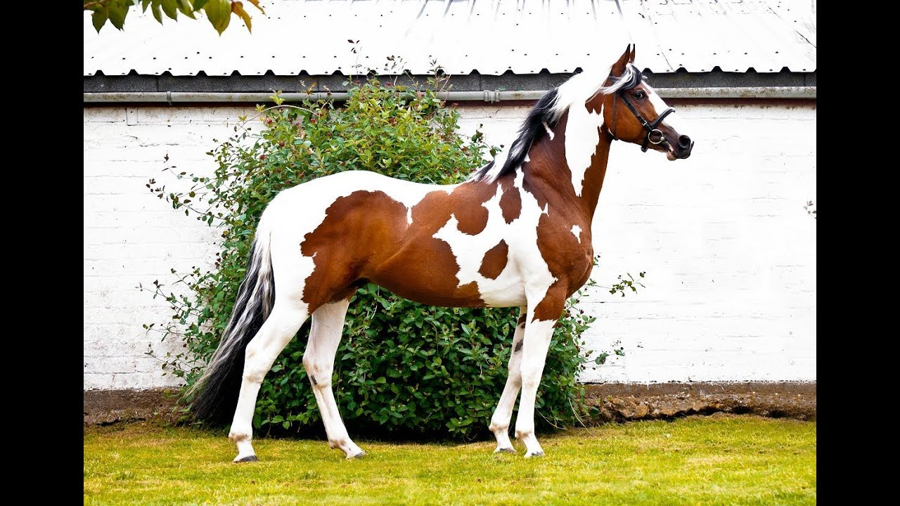 Homozygous Stallion - Solaris Buenno - YouTube