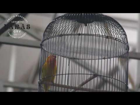 SUARA BURUNG : Lovebird LARAS Menambah Deretan Burung (KONSLET) Dari Depok