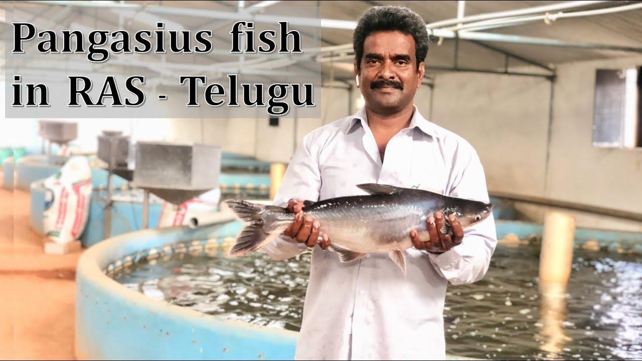 Pangasius fish in RAS | Telugu | Viswanadha Raju | Kravis Aqua |