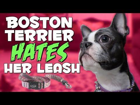 Boston Terrier dog HATES her leash