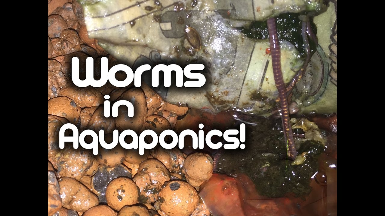 Worms in Aquaponics!