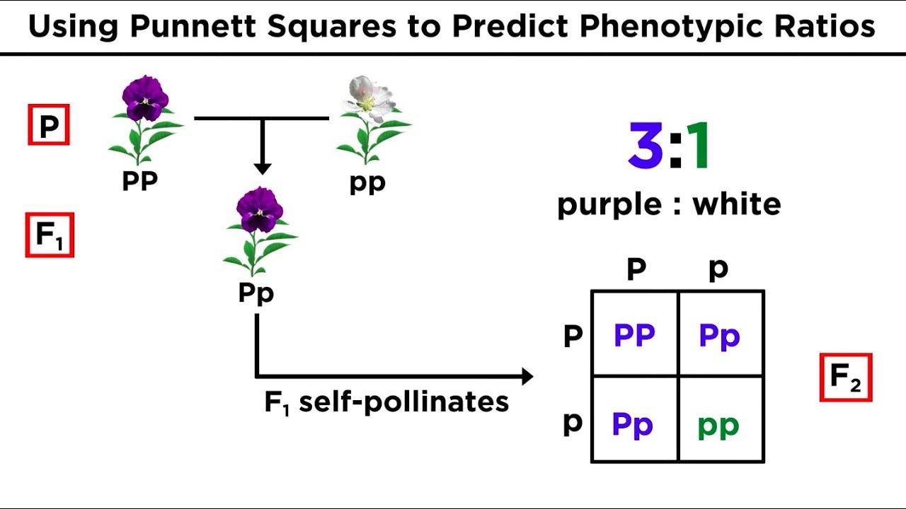 Mendelian Genetics and Punnett Squares - YouTube