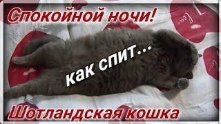 СПОКОЙНОЙ НОЧИ! Как СПИТ Шотландская кошка! Янина Кэт Джой!