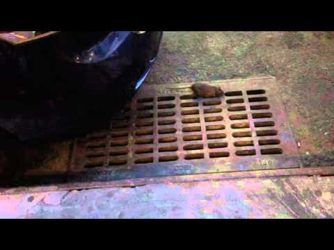 New York City Subway Rats! (NYC Manhattan Sewers)
