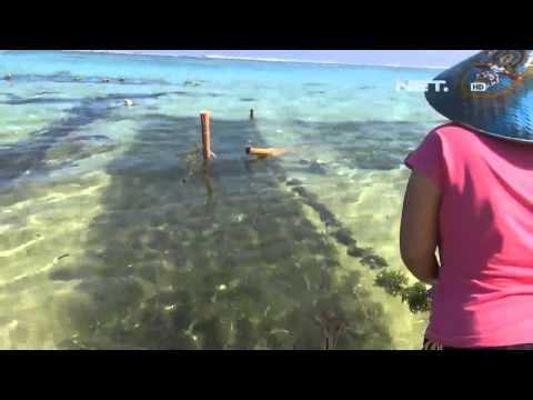 IMS - Panen rumput laut