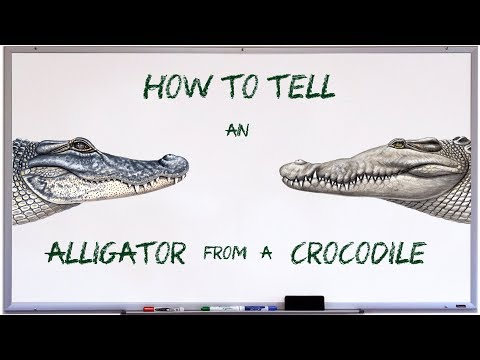 How to tell an alligator from a crocodile thumbnail