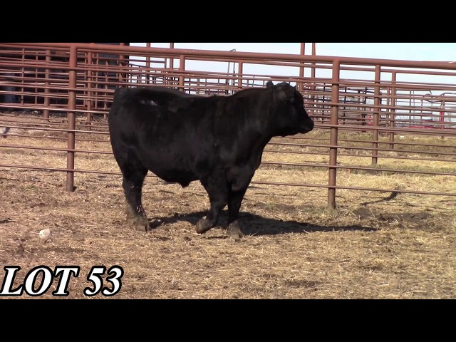 Mead Angus Farms Lot 53