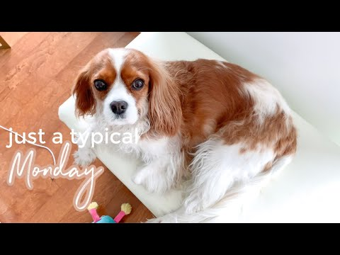 A TYPICAL MONDAY // Cavalier King Charles May 25 Vlog