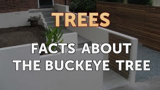 Facts About the Buckeye Tree
