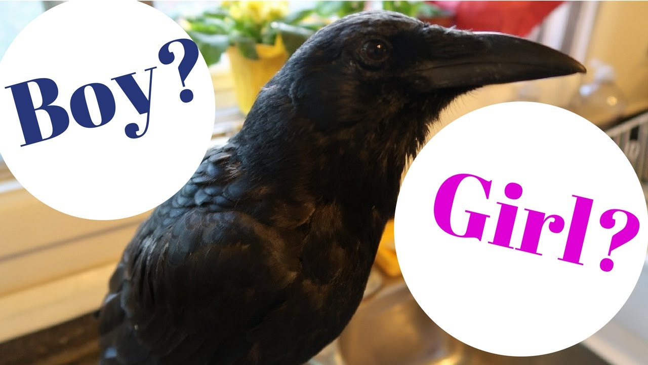 Is Crow A Male Or Female - Youtube-7264
