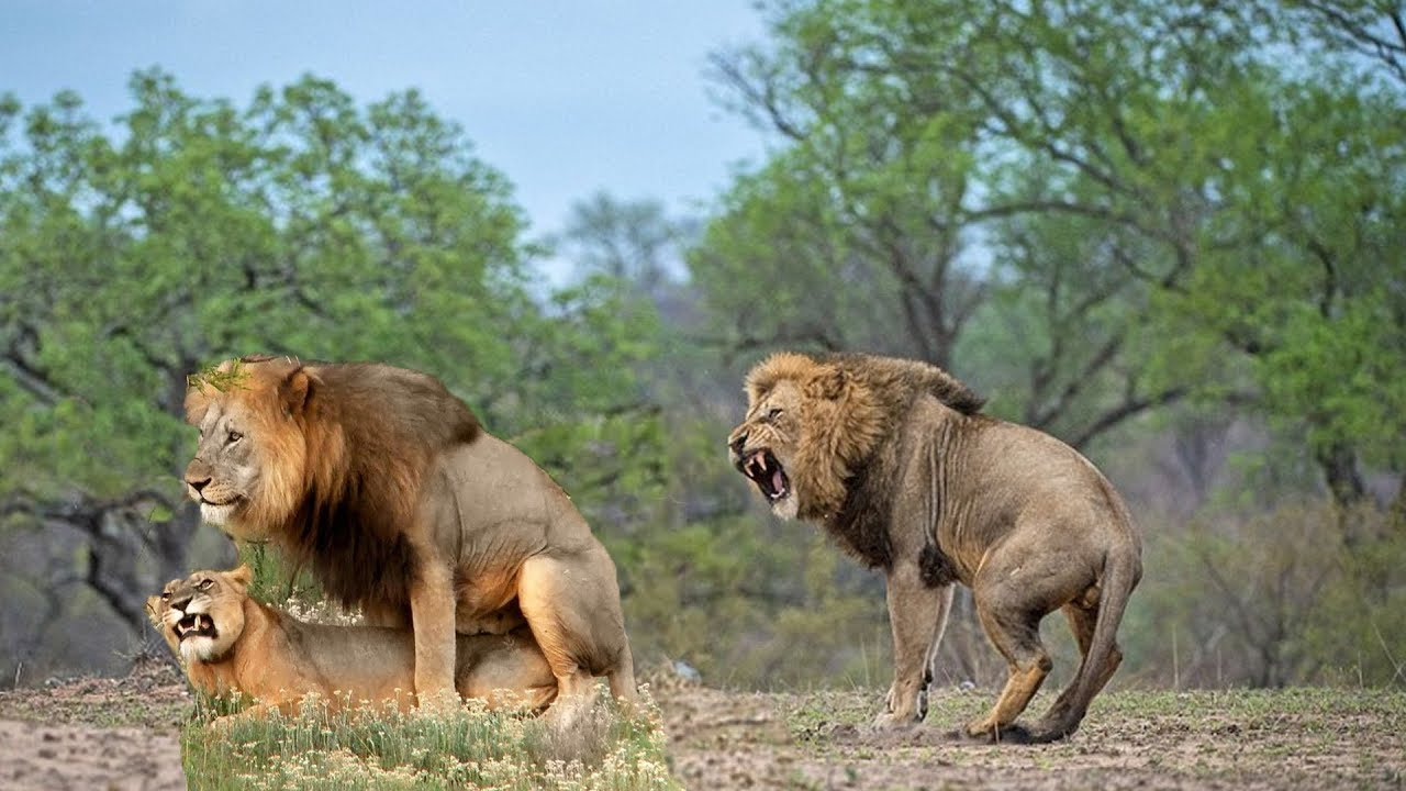 Male King Lions Fight  2019 |  Amazing Wild Animals Attacks - Wild Animal Fights Caught On Camera