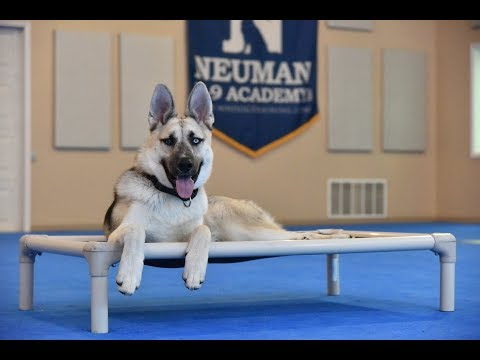 Jetson (GSD/Husky Mix) Boot Camp Dog Training Video Demonstration