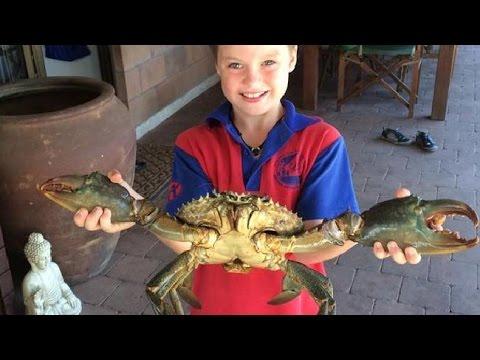 Amazing Live Huge Mud Crabs Wild Caught - CAUGHT BAREHANDED